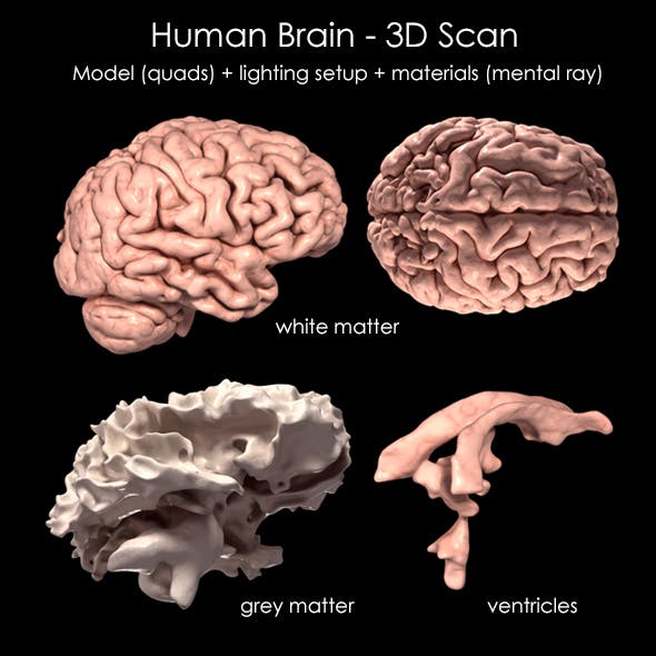 Human Brain 3D Scan Model