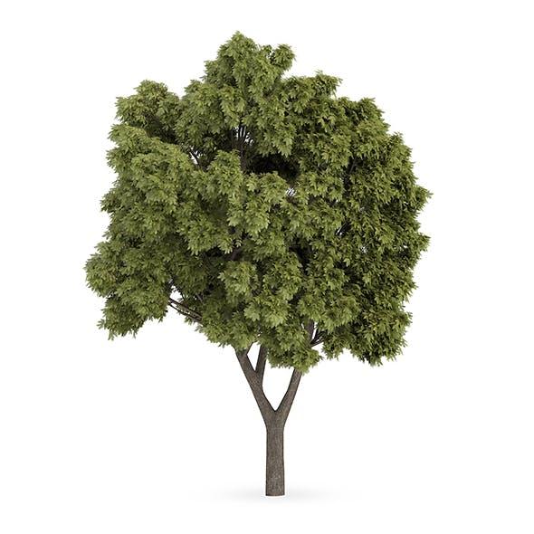 Sycamore Maple (Acer pseudoplatanus) - 3DOcean Item for Sale