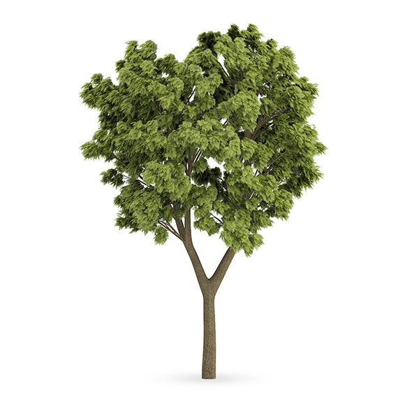 White Ash (Fraxinus americana) - 3DOcean Item for Sale