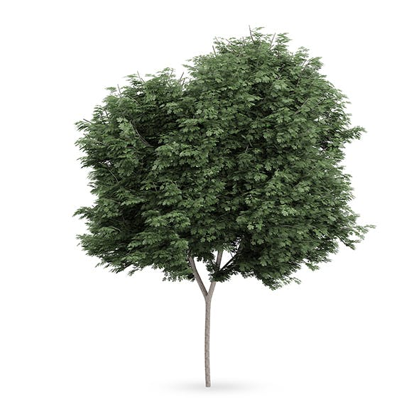 Field maple (Acer campestre) - 3DOcean Item for Sale