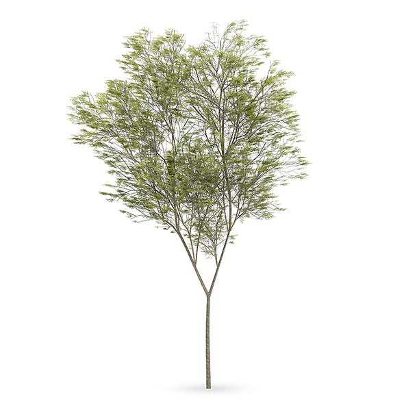 Common beech (Fagus sylvatica) - 3DOcean Item for Sale