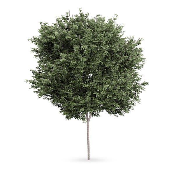 Field maple (Acer campestre) - 3DOcean Item for Sale