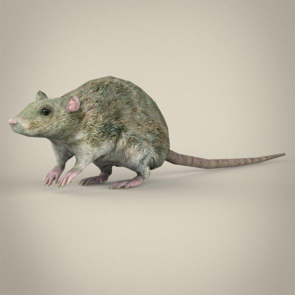 Low Poly Rat - 3DOcean Item for Sale