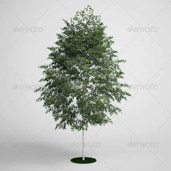 CGAxis Birch Tree 14