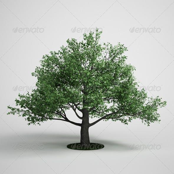 CGAxis Oak Tree 15