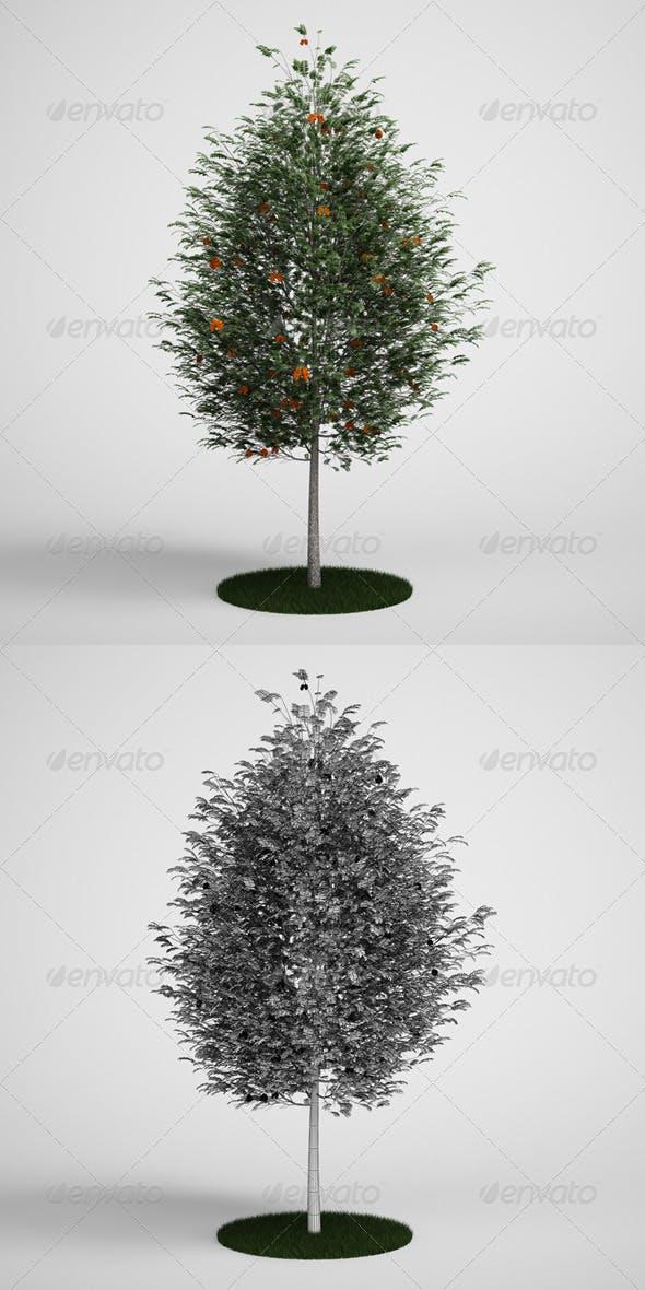 CGAxis Rowan Tree Mountain Ash 17 - 3DOcean Item for Sale