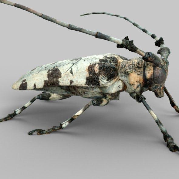 Boktor Beetle