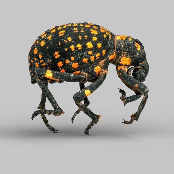 Brachycerus Ornatus Beetle