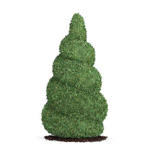 Boxwood Plant (Buxus sempervirens)