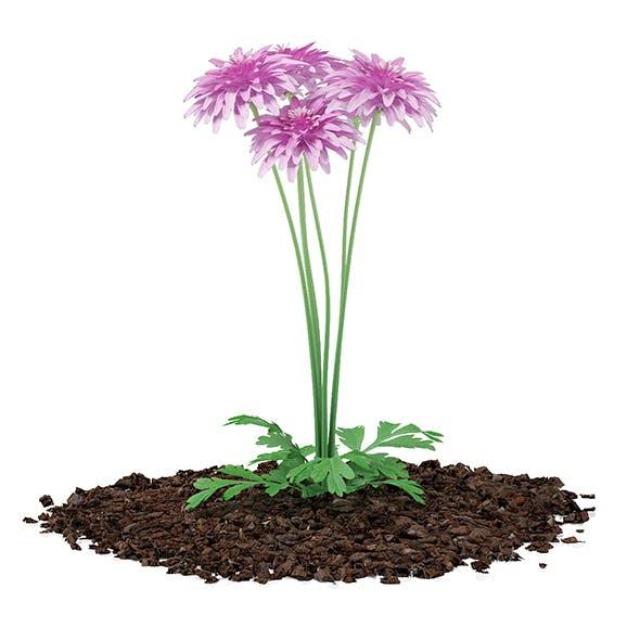 Pink Chrysanthemum Flowers (Argyranthemum frutescens) - 3DOcean Item for Sale