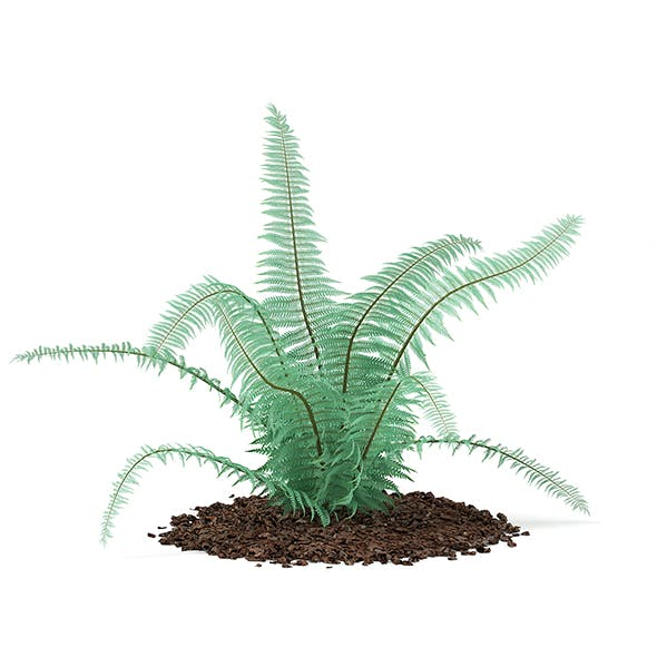 Fern (Dicksonia antarctica)