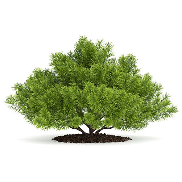 Pine Shrub (Pinus) - 3DOcean Item for Sale