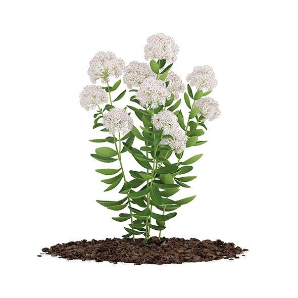 Flowering Sedum Plant (Sedum sarmentosum) - 3DOcean Item for Sale