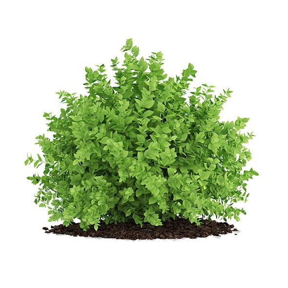 Small Boxwood Plant (Buxus sempervirens)