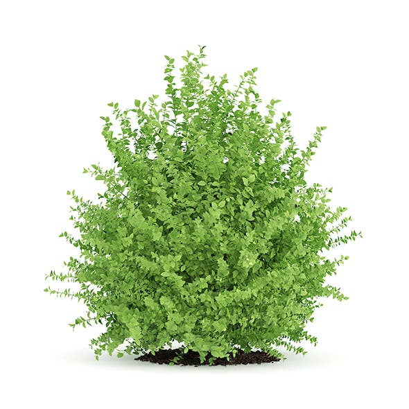 Large Boxwood Plant (Buxus sempervirens)