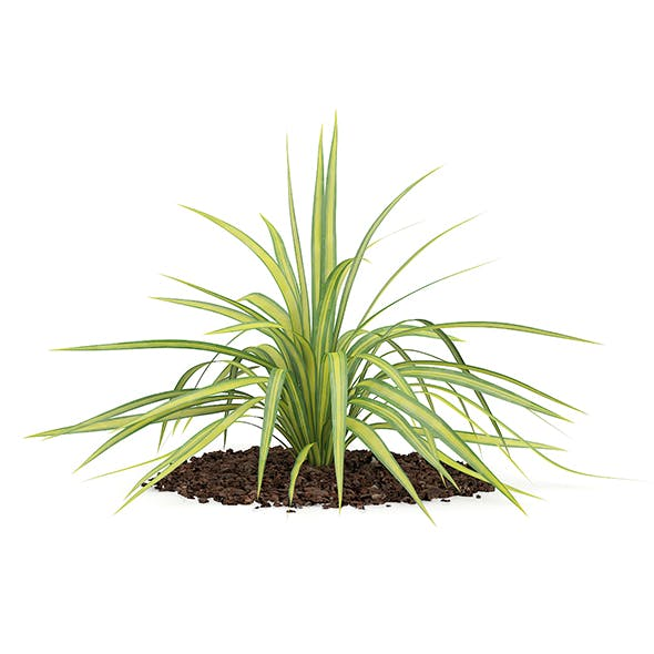 Yellow Yucca Plant (Yucca arkansana)