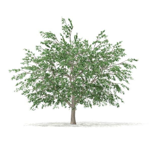 Pedunculate Oak (Quercus Robur) 15.2m - 3DOcean Item for Sale