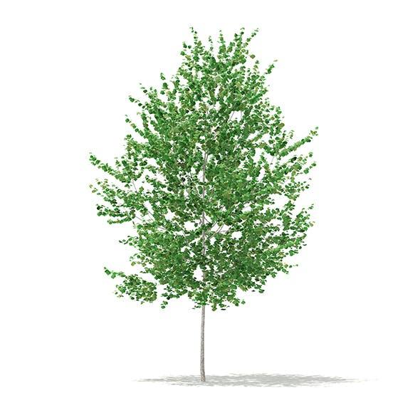 Silver Birch (Betula pendula) 2.7m - 3DOcean Item for Sale