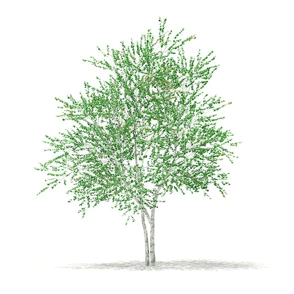Silver Birch (Betula pendula) 4.6m - 3DOcean Item for Sale