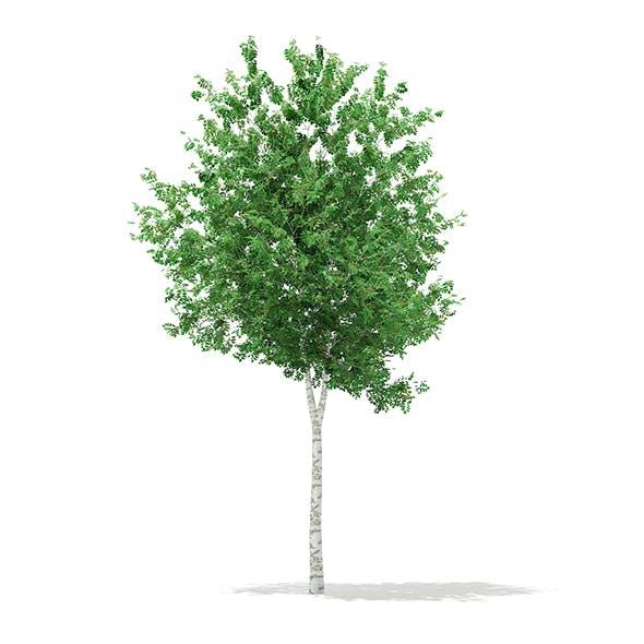 Silver Birch (Betula pendula) 8.3m