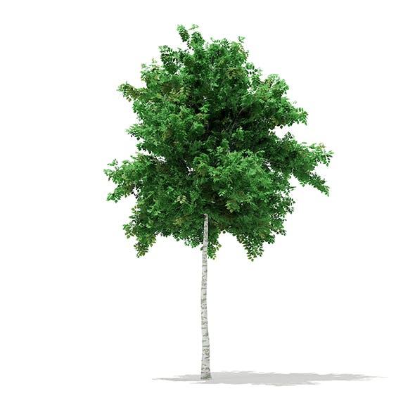 Silver Birch (Betula pendula) 5.5m