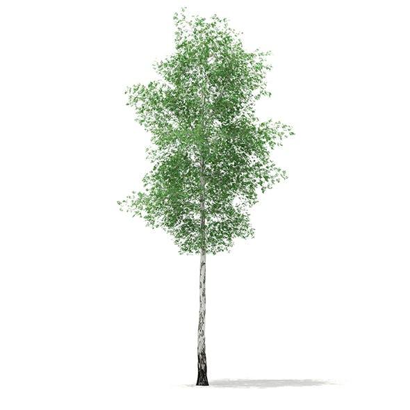 Silver Birch (Betula pendula) 21.4m