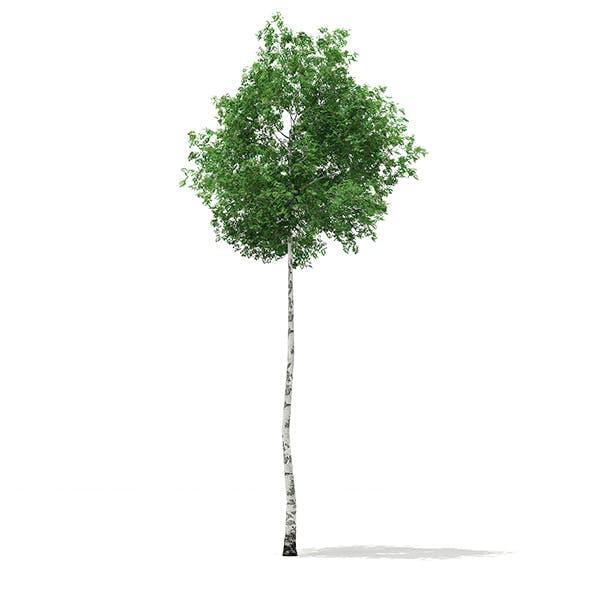 Silver Birch (Betula pendula) 13.6m - 3DOcean Item for Sale