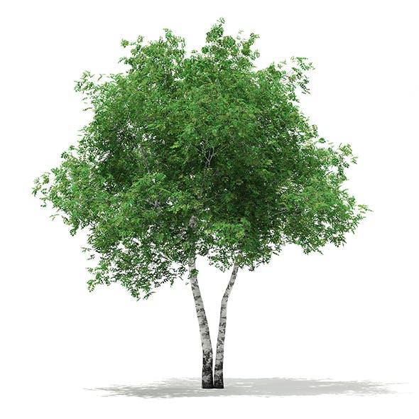 Silver Birch (Betula pendula) 8.8m - 3DOcean Item for Sale