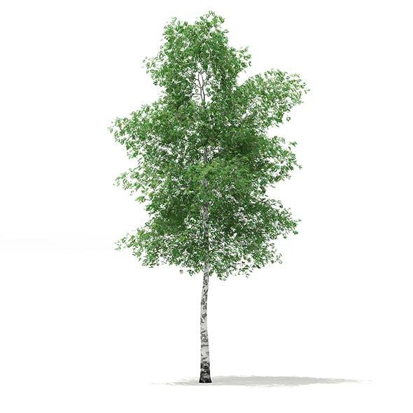 Silver Birch (Betula pendula) 13.8m