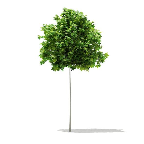 Sycamore Maple (Acer pseudoplatanus) 2.6m - 3DOcean Item for Sale