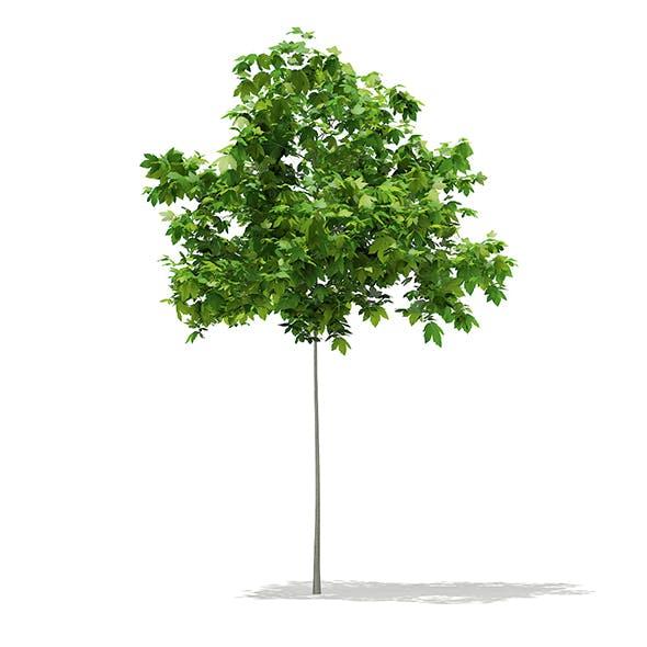 Sycamore Maple (Acer pseudoplatanus) 2m