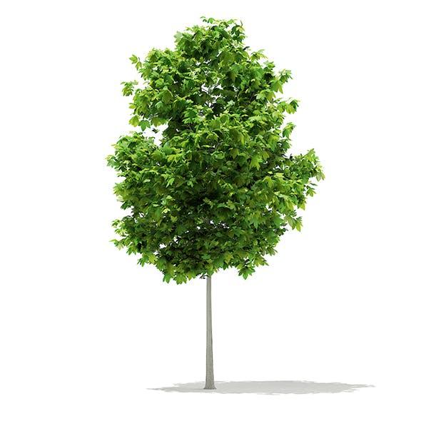 Sycamore Maple (Acer pseudoplatanus) 3.8m - 3DOcean Item for Sale