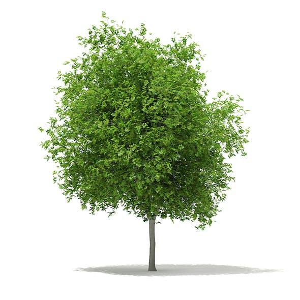 Sycamore Maple (Acer pseudoplatanus) 10.2m - 3DOcean Item for Sale