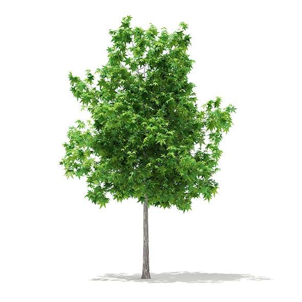 Sweetgum Tree (Liquidambar styraciflua) 3.6m