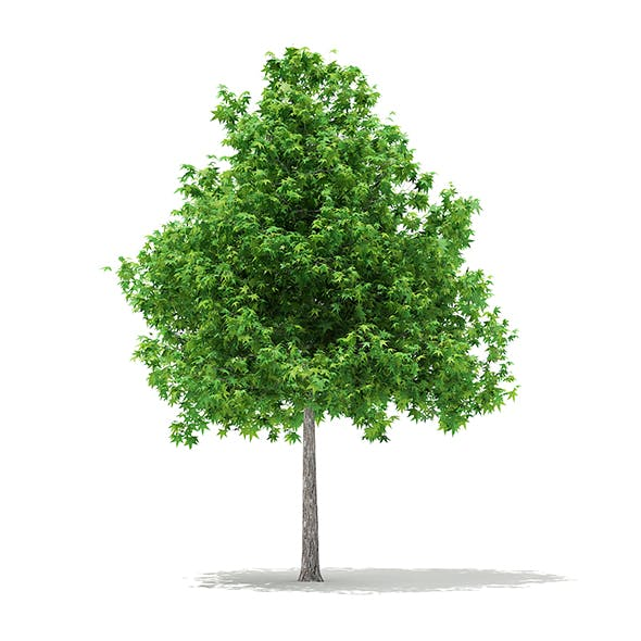 Sweetgum Tree (Liquidambar styraciflua) 4.6m
