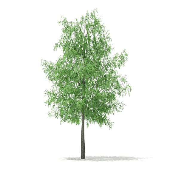 White Willow (Salix alba) 11m