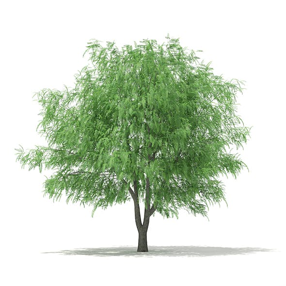 White Willow (Salix alba) 13m