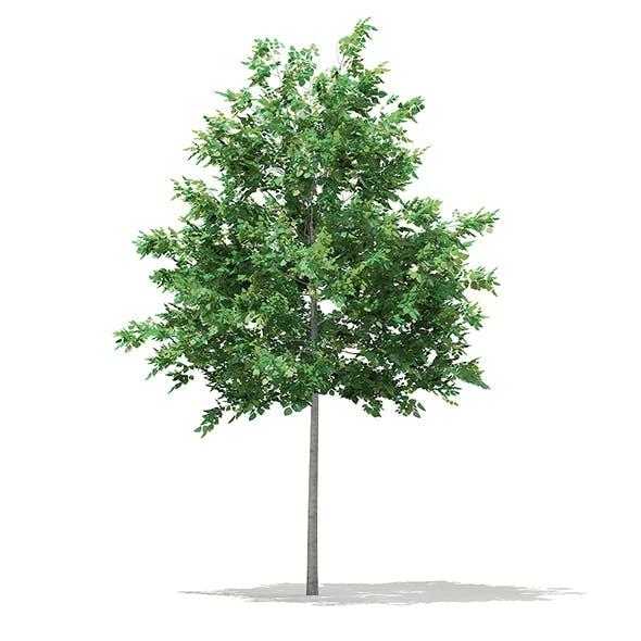 Bigtooth Aspen (Populus grandidentata) 5.2m
