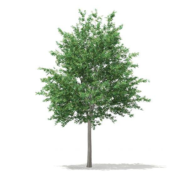 Bigtooth Aspen (Populus grandidentata) 10.3m - 3DOcean Item for Sale