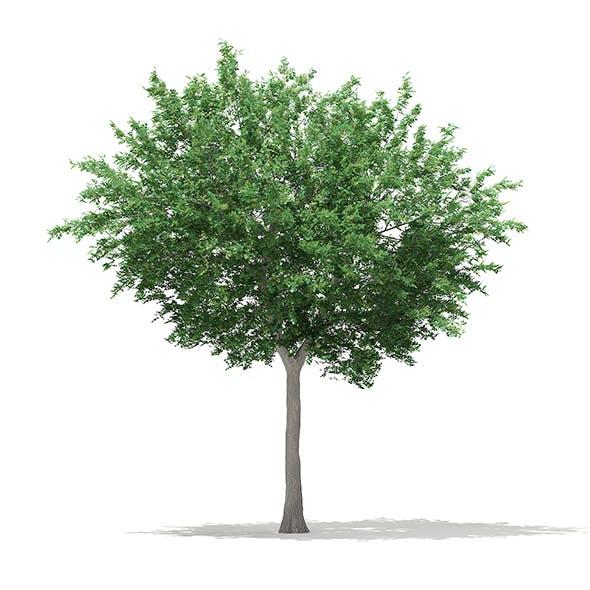 Bigtooth Aspen (Populus grandidentata) 11.8m - 3DOcean Item for Sale