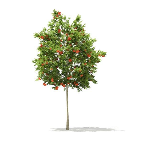 European Rowan (Sorbus aucuparia) 4.5m