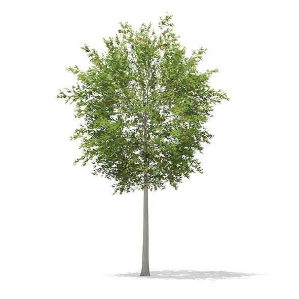 European Rowan (Sorbus aucuparia) 13.3m - 3DOcean Item for Sale