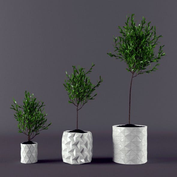 Plant ficus potted