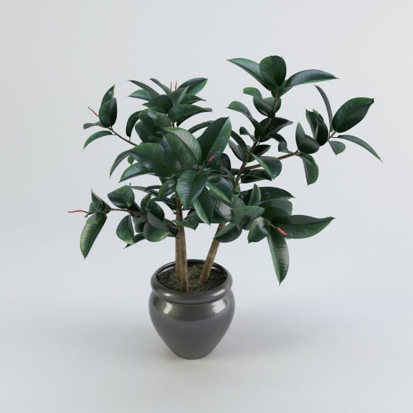 Ficus plant in a pot