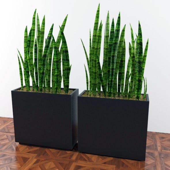 Plants sansevieria in a pot