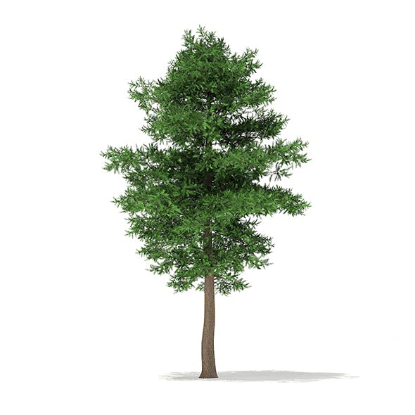 Scots Pine Tree (Pinus sylvestris) 9.7m - 3DOcean Item for Sale