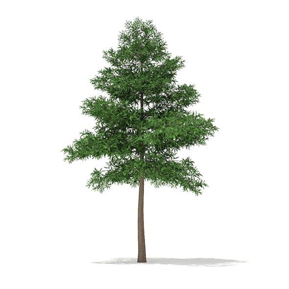 Scots Pine Tree (Pinus sylvestris) 9.4m