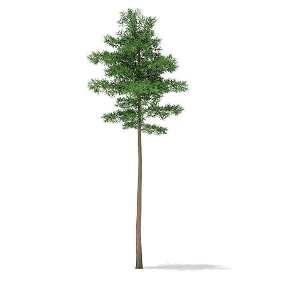 Scots Pine Tree (Pinus sylvestris) 23.6m