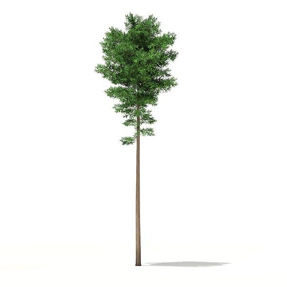 Scots Pine Tree (Pinus sylvestris) 29.4m