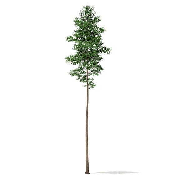 Scots Pine Tree (Pinus sylvestris) 27.6m - 3DOcean Item for Sale